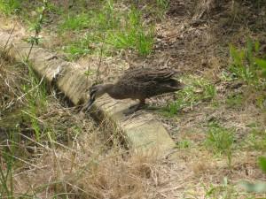 Lotsa ducks joined in the hunt